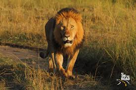 the lion king a wildlife photo essay from be on the road african lion walks on the jeep track and straight towards me