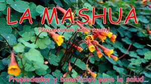 Resultado de imagen para EL CULTIVO DE MASHWA