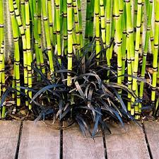 Small Picture The 25 best Black bamboo plant ideas on Pinterest Bamboo garden