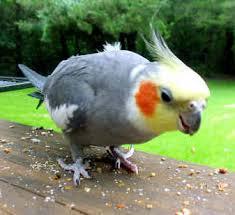 ومعلومات طائر الكوكتيل images?q=tbn:ANd9GcQPVBz5rRZpoyIWtBfYRM23DFonZys1zgdVMl8WQyXaCati-XhttQ