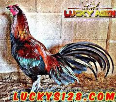 What are you waiting for? Adu Ayam Jago Ayam Peru Merupakan Salah Satu Jenis Ayam Aduan Yang Digunakan Di Dalam Pertandingan Sabung Ayam Terbaik Yang Juga Sering Digunakan D Jenis Peru