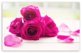 roses good morning hd wallpaper