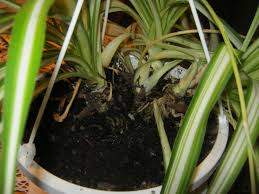 Over the course of the summer, I lost a portion of one of my spider plants.  This loss left an empty space in the pot. No worries