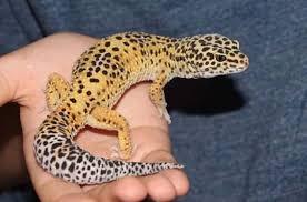 Leopard Gecko Size Chart When Do Leopard Geckos Reach Adulthood