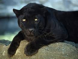 images for angry black cheetah wallpaper