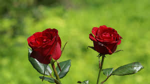 Roses Flowers Wallpapers Rose Flower Wallpaper Hd 28 Images On Genchi Info