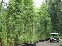 Photo 3 of 8 Bamboo Garden Nursery (lovely Bamboo Garden Houston #3)