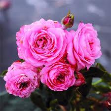 """Résultat de recherche d'images pour """"rose merci ami"""""""