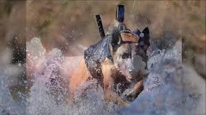 military german shepherd titanium teeth. Beautiful German Dog With Titanium Teeth For Military German Shepherd F