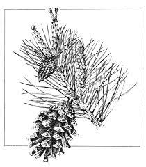 <b>Сосна обыкновенная</b> (Pinus sylvestris). Голосеменные <b>растения</b>