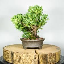 office bonsai tree. Wondrous Modern Office Bonsai Tree For Cool Office: Full Size