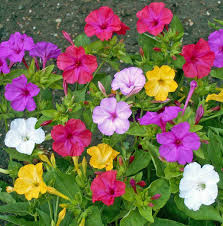 four oclock flowers seed mirabilis jalapa mix yellow red white pink often