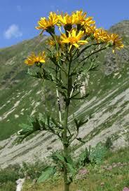 File:Senecio subalpinus a1.jpg - Wikimedia Commons
