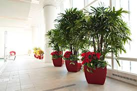 office indoor plants. Reception Plant · Suburban Office Plants Ficus Bushes Indoor Chicago A