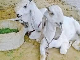 Brief Characteristic Of Jamunapari Goat Learn Natural Farming