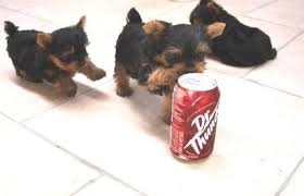 micro teacup yorkie puppies for sale.  For Throughout Micro Teacup Yorkie Puppies For Sale