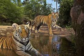 eye of the tiger wildlife conservation travel fourteen month old sibling cubs cool off in the patpara nala watering hole in bandhavgarh