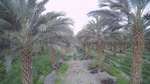 florida wholesale medjool date palm tree nursery tampa orlando miami tree nursery tampa s3