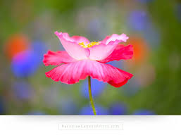 flower canvas prints pink poppy on green background on flower wall art prints with dreamy pink poppy flower wall art canvas print paradise canvas