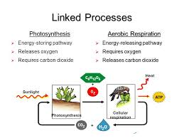 linked processes photosynthesis aerobic respiration