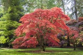 Japanese Maple Growth Chart Growing Japanese Maples In Zone 9 Suitable Japanese Maples