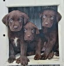 class act keith kimberlin wide ruled spiral notebook puppies chocolate labrador