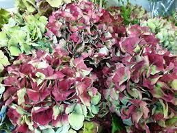 Hydrangea 'Antique Marion' | Flowers, Hydrangea, Foliage