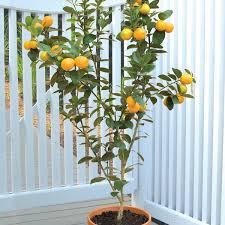 Nagami Kumquat Tree  Indoor Kumquat Trees For SaleKumquat Tree Not Bearing Fruit