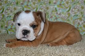 american bulldog newborn puppies. Modren American Previous American Bulldogs Puppies For Sale Throughout Bulldog Newborn E