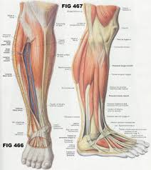 Muscles In The Human Calf In 2019 Leg Muscles Anatomy Leg