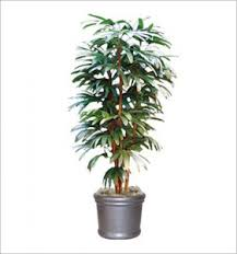 tall office plants. Interesting Plants Ficus Inside Tall Office Plants I