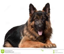 pictures of dogs for free 2. Modren Free German Shepherd Dog 2 Years Old Lying Throughout Pictures Of Dogs For Free I