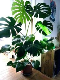 office plants no light. Indoor Plants Low Light Tall Terrific Plant . Office No