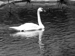 water reflection drawing. sketching water - swan example reflection drawing r