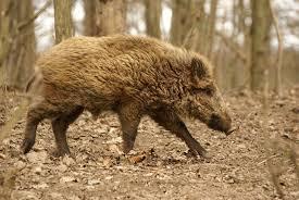 Boar N Again In The Forest Of Dean Animal Kingdom Four Legged
