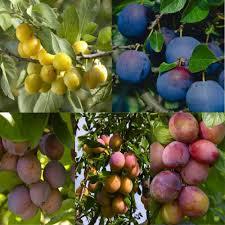 Plum Cambridge Gage  Buy Gage Tree  Purchase Plum Fruit TreesPlum Fruit Tree Varieties