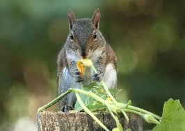keeping squirrels out of the garden squirrel eating squash blossom