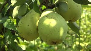 green apple fruit tree. organic, imperfect pears on the branch moving in wind , 4k, uhd -. 4k 00:17. green apple fruits hanging tree fruit a