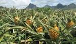 pineapple farming business plan
