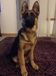 Very Slow Growth In My German Shepherd Puppy