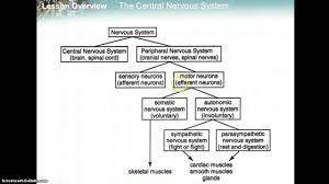 Flow Chart Youtube Nervous System Flowchart Youtube