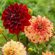 Dahlia Lady Darlene/Mingus Alex - Longfield Gardens
