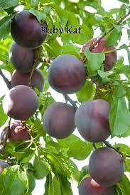 Species Profile Urban Fall Edibles  Local Enhancement Plum Fruit Tree Varieties