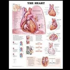 Anatomy Of The Heart Chart Artanatomy Manufacturer Of Heart Anatomy Chart
