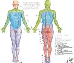 Dermatomes And Myotomes Jasonkellyphoto Co