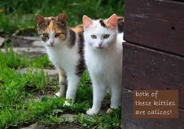 just like with a calico cat the name of a tortoises cat refers to the cats color not a breed the color tortoises is a marbelized black and