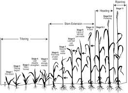 Wheat Growth Stages Chart Wheat Growth Stages Agriculture Farming American