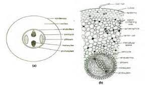 anatomy of cycas