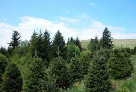 What Kind Of Christmas Tree Are YouWhat Kind Of Christmas Trees Are There