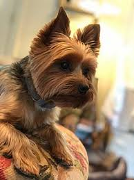 Yorkshire terrier haircut can be beautiful and diverse. Yorkshire Terrier Wikipedia